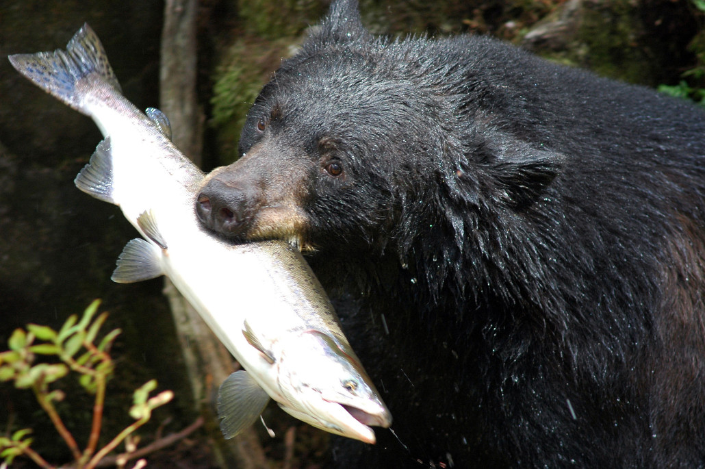 Black bear with salmon. Public domain image in USA